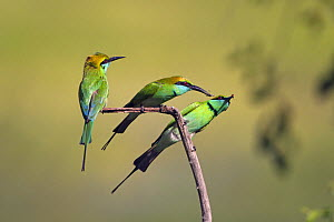Three Green bee-eaters (Merops orientalis) with insect prey, Yala National Park, Sri Lanka.  -  Ernie  Janes