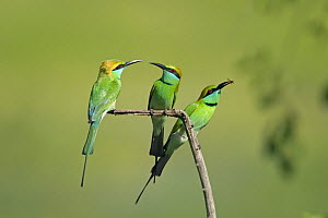 Three Green bee-eaters (Merops orientalis) with insect prey, Yala National Park, Sri Lanka.