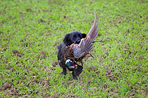 Cocker spaniel retrieving a shot Common pheasant (Phasianus colchicus), Norfolk, England, UK, December. - Ernie  Janes