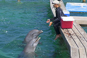 Bottle-nosed dolphins (Tursiops truncatus) with their keeper, Roatan Institute for Marine Science, Bay Islands, Honduras.  -  Ernie  Janes