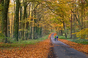 Two people cycling along a lane through autumnal woodland, Holkham, Norfolk, England, UK, November.  -  Ernie  Janes