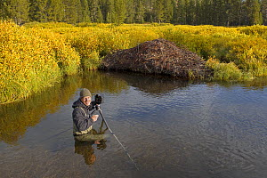 Wildlife Photographer Ingo Arndt on location taking pictures of American beaver (Castor canadensis) lodge, Yellowstone NP, USA, September 2011. - Ingo Arndt