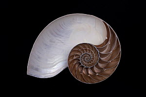 Chambered nautilus (Nautilus pompilius) shell cross section, from Philippines, in collection at Ozeania Maritime Museum / Meeresmuseum Ozeania, Riedenburg, Germany. For sale in the UK only. - Ingo Arndt