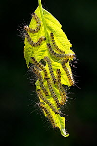 Buff tip moth (Phalera bucephala) caterpillars feeding on leaf, Hungary, June. - Ingo Arndt