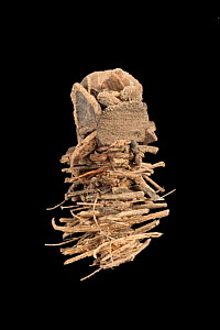 Caddisfly (Limnephilidae) case built out of sticks and bark fragments, Germany, November. - Ingo Arndt