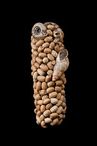 Caddisfly (Trichoptera) case built out of seeds and snail shells, Germanyl, December. For sale in the UK only. - Ingo Arndt