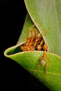 Green tree ant (Oecophylla smaragdina) group building nest by pulling on leaves together, Kakadu National Park Northern Territory, Australia.  Commended in the GDT European Wildlife Photographer of th... - Ingo Arndt
