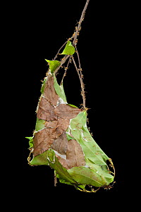 Green tree ant (Oecophylla smaragdina) group on nest from woven leaves, Kakadu National Park, Northern Territory, Australia. For sale in the UK only.  -  Ingo Arndt