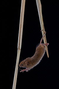 Harvest mouse (Micromys minutus) climbing in reed, Germany, August, captive. For sale in the UK only.  -  Ingo Arndt