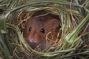 Harvest mouse (Micromys minutus) female looking out of nest, Germany, captive. For sale in the UK only.  -  Ingo Arndt