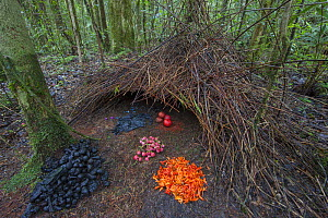 Vogelkop bowerbird(Amblyornis inornatus) bower decorated to attract a mate, Arfak Mountains, Irian Jaya, New Guinea, Indonesia. For sale in the UK only.  -  Ingo Arndt