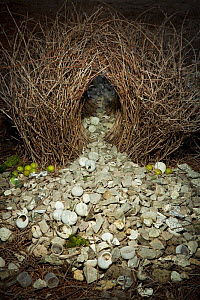 Great bowerbird (Chlamydera nuchalis) bower, Northern Territory, Australia. For sale in the UK only.  -  Ingo Arndt