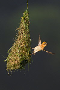 Baya weaver (Ploceus philippinus) subadult bird at 'play nest', Singapore. For sale in the UK only.  -  Ingo Arndt
