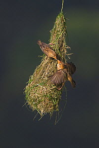 Baya weaver (Ploceus philippinus) subadult birds at 'play nest', Singapore. For sale in the UK only.  -  Ingo Arndt
