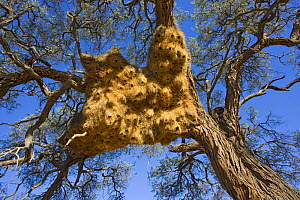 Sociable weaver (Philetairus socius) nest, near Sossus Vlei, Namibia For sale in the UK only.  -  Ingo Arndt