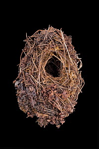 Eurasian wren (Troglodytes troglodytes) nest, in collection at Senckenberg Natural Hystory Collection, Dresden, Germany. For sale in the UK only.  -  Ingo Arndt