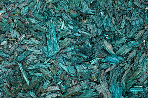 Vogelkop bowerbird (Amblyornis inornatus) decoration material (blue rotten wood) collected in order to attract females to his bower, Arfak Mountains, Irian Jaya, New Guinea, Indonesia.  -  Ingo Arndt
