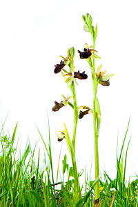 Bee orchids (Ophrys incubacea) Matera, Italy. Meetyourneighbours.net project  -  MYN / Emanuele Biggi