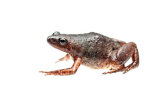 Microhylid frog (Chiasmocleis sp.) Kanuku Mountains, Guyana. Meetyourneighbours.net project - MYN / Andrew Snyder
