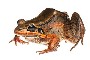 Ditch frog (Leptodactylus guianensis) Kanuku Mountains, Guyana. Meetyourneighbours.net project  -  MYN / Andrew Snyder