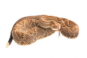 Neotropical rattlesnake (Crotalus durissus) Kusad Mountain, Guyana. Meetyourneighbours.net project  -  MYN / Andrew Snyder