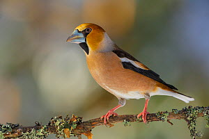 Hawfinch (Coccothraustes coccothraustes) perched on branch with lichen. Southern Norway, February.  -  Andy  Trowbridge