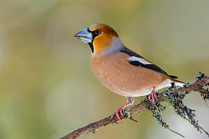 Hawfinch (Coccothraustes coccothraustes) perched on lichen covered branch. Southern Norway, February.  -  Andy  Trowbridge