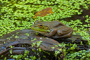 Bullfrog (Rana catesbeiana) in pond, New York, USA, September. - John Cancalosi
