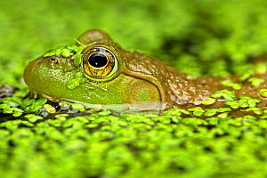 Bullfrog (Rana catesbiena) in pondweed, New York, USA, July. - John Cancalosi