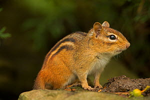 Eastern Chipmunk (Tamias striatus) New York, USA, June.  -  John Cancalosi