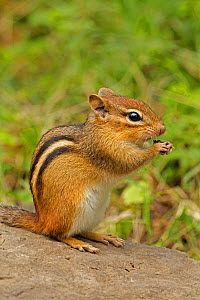 Eastern Chipmunk (Tamias striatus) feeding, New York, USA, September.  -  John Cancalosi