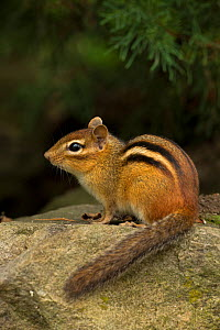 Eastern Chipmunk (Tamias striatus) resting, New York, USA, September.  -  John Cancalosi