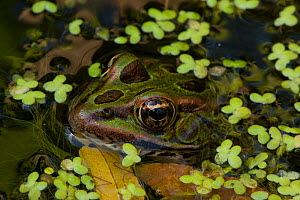 Leopard frog (Lithobates pipiens) in pond, New York, USA, August. - John Cancalosi