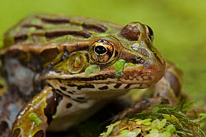 Leopard frog (Lithobates pipiens) covered in pond weed, New York, USA, August. - John Cancalosi