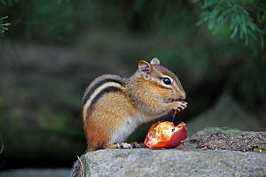 Eastern Chipmunk (Tamias striatus) feeding on apple, New York, USA, September.  -  John Cancalosi