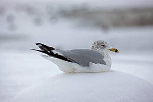 Ring-billed Gull (Larus delawarensis) in snow, New York, USA, January. - John Cancalosi