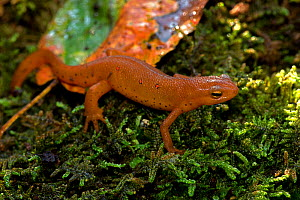 Red-spotted newt (Notophthalmus viridescens) red eft or terrestrial phase, New York, USA, July. - John Cancalosi