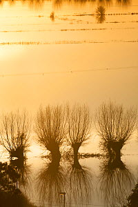 Pollarded Crack Willows (Salix fragilis) at sunset  in January 2014 flooding, Somerset Levels, England, UK, 11th January 2014.  -  David  Woodfall