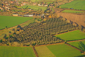 Aerial view of apple orchard, Somerset, England, UK, January 2014.  -  David  Woodfall