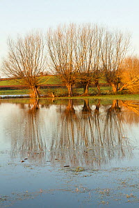 Line of pollarded Crack Willows (Salix  fragilis) during January 2014 floods, Somerset Levels, England, UK, 11th January 2014.  -  David  Woodfall