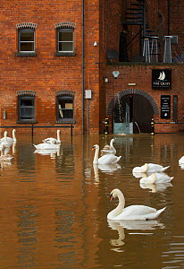 Mute Swans  (Cygnus olor) swimming in Worcester city centre, during February 2014 floods, Worcester, England, UK, 10th February 2014. - David  Woodfall