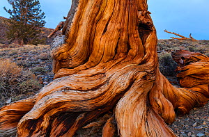 Great Basin Bristlecone Pine (Pinus longaeva) roots of ancient tree, Inyo National forest, White Mountains, California, USA, March. - Juan  Carlos Munoz