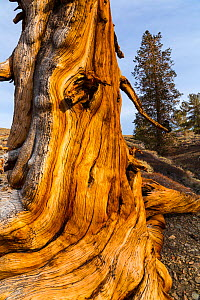 Great Basin Bristlecone Pine (Pinus longaeva) trunk of ancient tree, Inyo National forest, White Mountains, California, USA, March. - Juan  Carlos Munoz