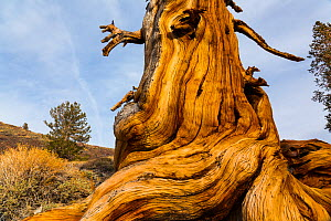 Great Basin Bristlecone Pine (Pinus longaeva) trunk of ancient tree, Inyo National forest, White Mountains, California, USA. - Juan  Carlos Munoz