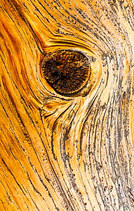 Great Basin Bristlecone Pine (Pinus longaeva) close up of knot in wood of ancient tree, Inyo National forest, White Mountains, California, USA. - Juan  Carlos Munoz