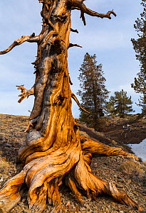 Great Basin Bristlecone Pine (Pinus longaeva) ancient tree, Inyo National forest, White Mountains, California, USA. - Juan  Carlos Munoz