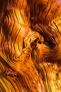 Great Basin Bristlecone Pine (Pinus longaeva) patterns in wood of ancient tree, Inyo National forest, White Mountains, California, USA, March. - Juan  Carlos Munoz