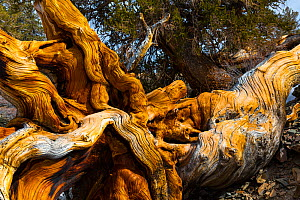 Great Basin Bristlecone Pine (Pinus longaeva) fallen ancient tree, White Mountains, California, USA, March. - Juan  Carlos Munoz