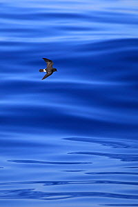 European storm petrel (Hydrobates pelagicus) in flight over the sea, Portugal, October.  -  Robin Chittenden
