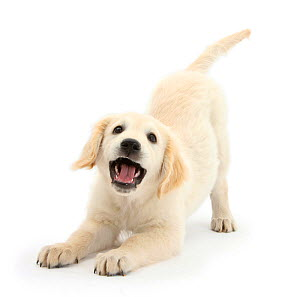 Golden Retriever dog pup, Oscar, 3 months, in play-bow, against white background - Mark Taylor
